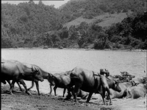 vídeos de stock e filmes b-roll de boys who herd buffaloes climb on the backs of the buffaloes and go into the water - búfalo africano