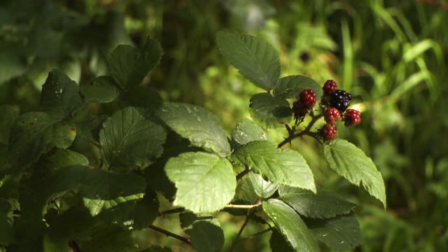 boysenberry growing on vine - grove stock videos & royalty-free footage