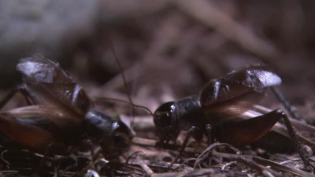 a brace of crickets - grillo insetto video stock e b–roll