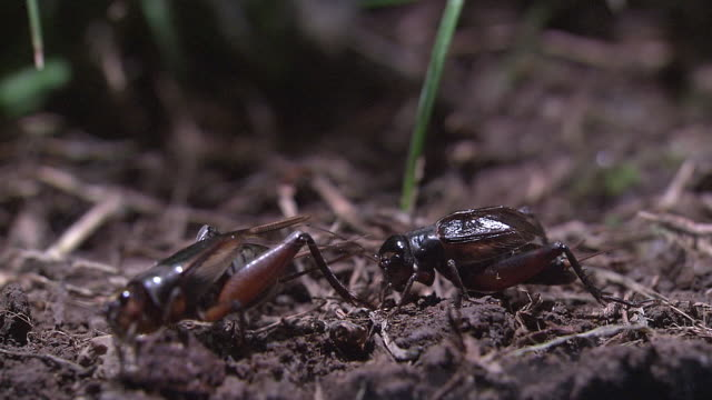 vidéos et rushes de a brace of crickets - comportement animal