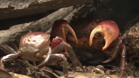 vídeos y material grabado en eventos de stock de a brace of red hand crabs - grupo mediano de animales