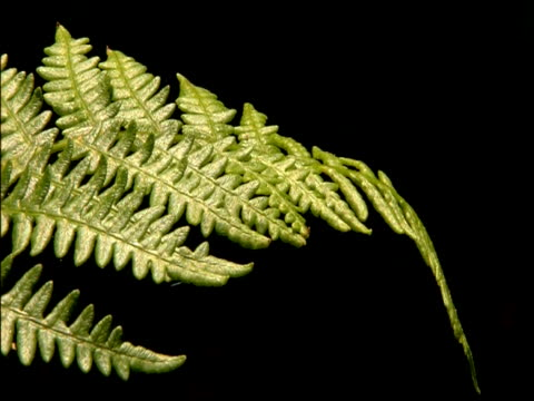 bracken frond cu against black, parque natural los alcornocales (cadiz y malaga), andalucia, spain - frond stock videos & royalty-free footage