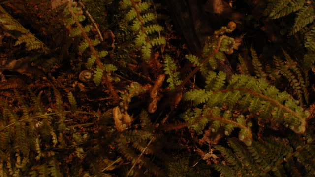 bracken fronds unfurl as they grow on a shaded woodland floor. available in hd. - fern stock videos & royalty-free footage