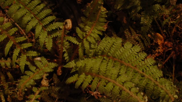 Bracken fronds unfurl as they grow on a shaded woodland floor. Available in HD.