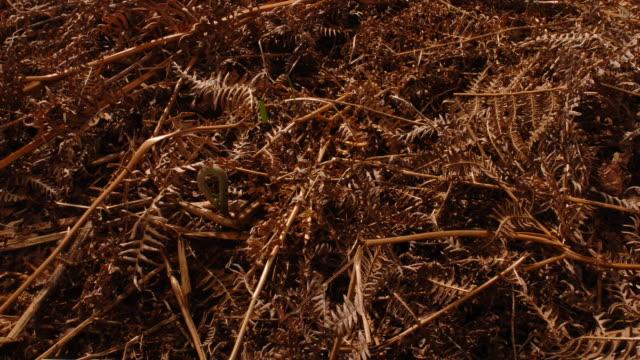 T/L Bracken (Pteridium sp.) growing from dead fronds, United Kingdom, track back