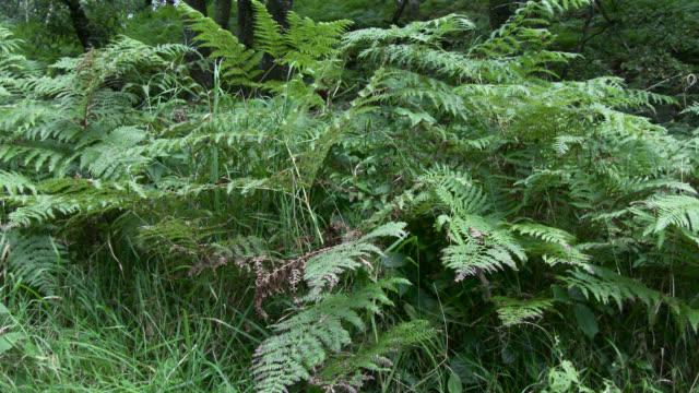Fougère de Scottish woodland en automne
