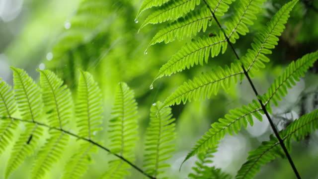 bracken leaves in 'gotjawal' forest / jeju-si, jeju-do, south korea - fern stock videos & royalty-free footage
