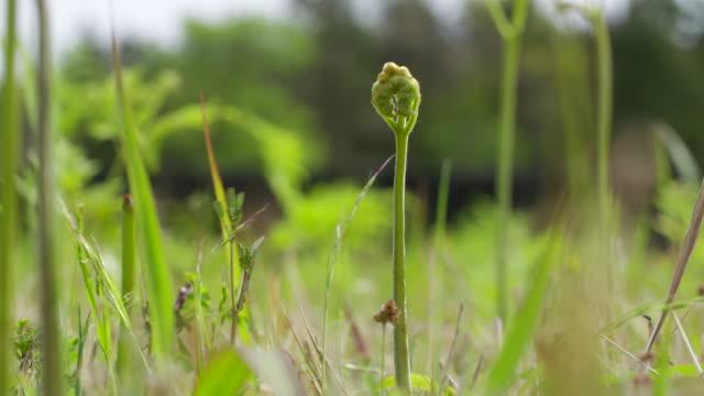 bracken plant swaying in wind in jeju island - bracken stock videos and b-roll footage