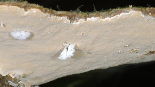 bracket fungus releasing spores at night - fungus stock videos & royalty-free footage