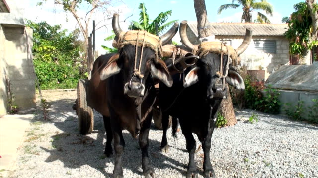 brahma bulls - working animals stock videos & royalty-free footage