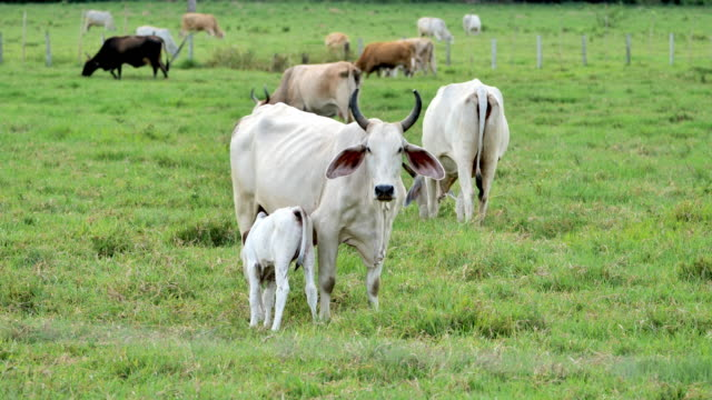 brahman cattle: costa rican countryside - livestock stock videos & royalty-free footage