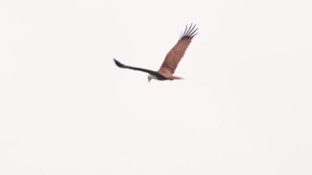 曇り空、スリランカを ms brahminy 凧飛んで - ネイチャーズウィンドウ点の映像素材/bロール