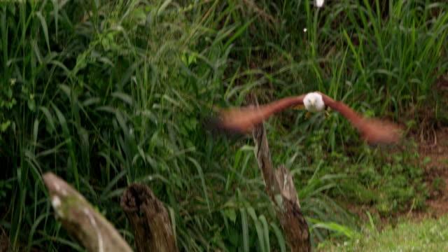 vidéos et rushes de oiseau de cerf-volant de ms brahminy prendre la fuite, sri lanka - rapace