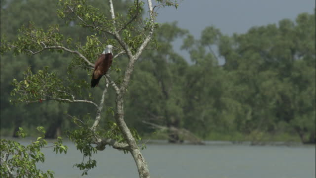a brahminy kite perches in a tree. available in hd. - mangrove forest stock videos & royalty-free footage