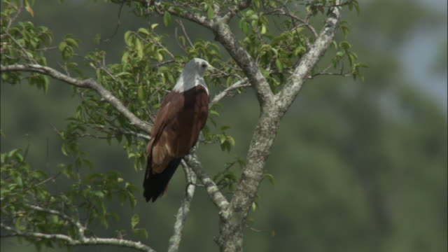 vídeos de stock, filmes e b-roll de a brahminy kite perches in a tree. available in hd. - reserva natural