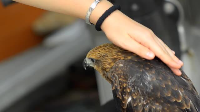 ブラミニーカイト小鳩に達した pet の家庭 - ミサゴ点の映像素材/bロール