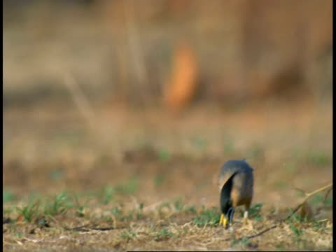 brahminy starling (sturnus pagodarum) foraging, flies away, bandhavgarh national park, madhya pradesh, india - foraging stock videos & royalty-free footage