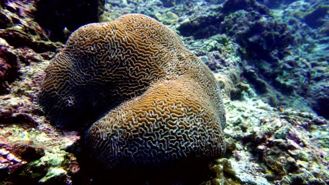 brain coral (platygyra daedalea) coral bleaching, phi phi, andaman sea, krabi, thailand. - coral stock videos & royalty-free footage