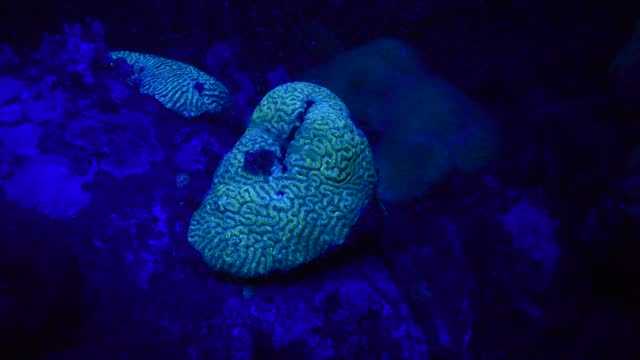 brain corals. - aquatic organism stock videos & royalty-free footage