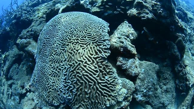 brain corals. - dykarperspektiv bildbanksvideor och videomaterial från bakom kulisserna