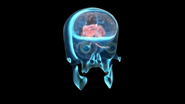 vidéos et rushes de scan du cerveau - système nerveux humain