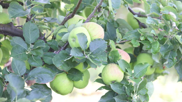 bramley apples on a branch, grown at apple farm in coxheath, kent, u.k., on thursday, september 16, 2021. - apple fruit stock videos & royalty-free footage