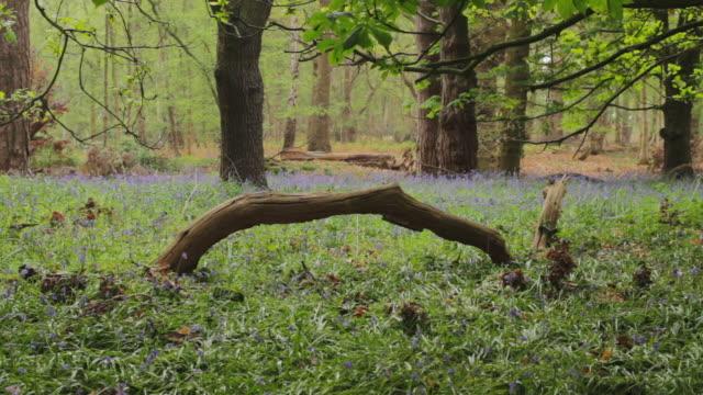 a branch among bluebells in the woods - fast kamera bildbanksvideor och videomaterial från bakom kulisserna