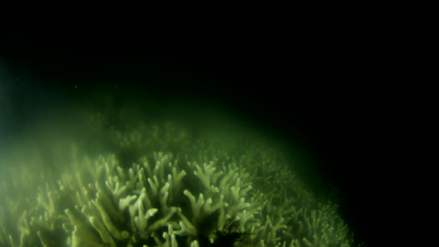 branch coral spawning at night, cloud of spawn fills water - coral stock videos & royalty-free footage