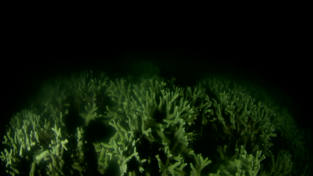 branch coral spawning at night - coral stock videos & royalty-free footage