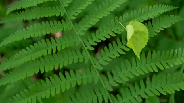 stockvideo's en b-roll-footage met branch of a fern in spring forest on a sunny day - varenblad