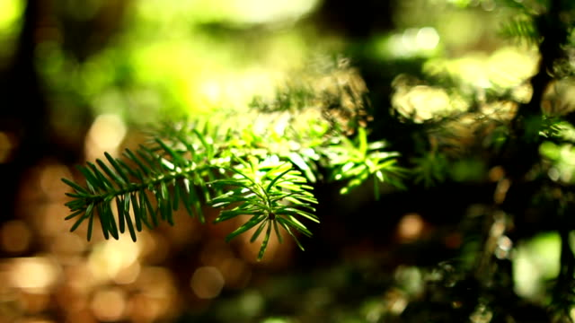 CU Branch of an evergreen tree with shallow depth of field