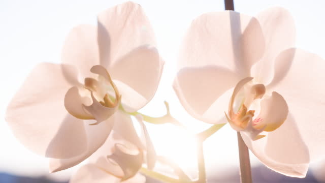branch of beautiful pink orchid blossoms brightly lit - orchid stock videos & royalty-free footage