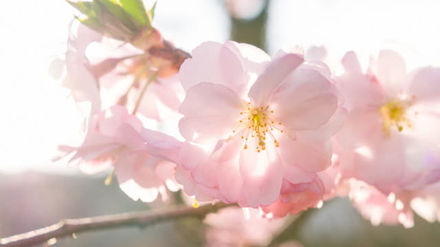vídeos de stock e filmes b-roll de branch of blooming cherry tree in spring - brightly lit