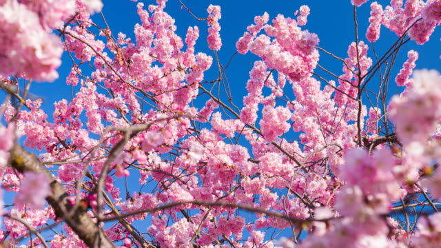 branch of cherry blossom flowers in bloom in spring - great white cherry stock videos & royalty-free footage