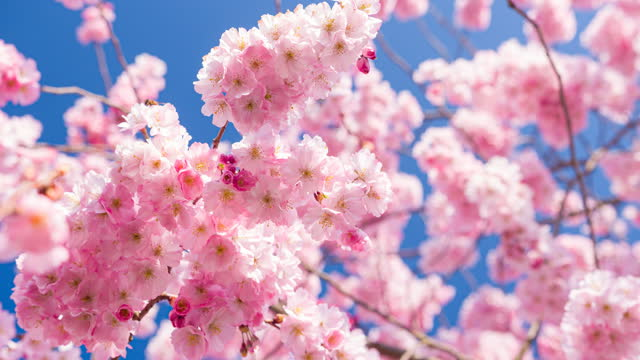 branch of cherry blossom flowers in bloom in spring - blossom stock videos & royalty-free footage
