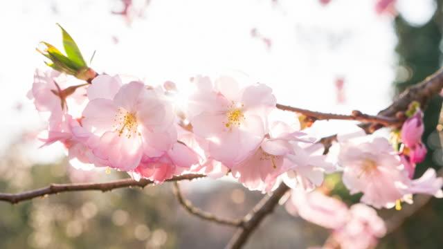 vídeos de stock e filmes b-roll de branch of cherry blossom flowers in bloom in spring - prunus taihaku