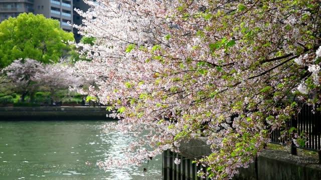 Zweige Kirsche Baum in voller Blüte mit einem Ausflugsdampfer und Kirsche – das Publikum im Hintergrund in Osaka Zoheikyoku (Mint Bureau