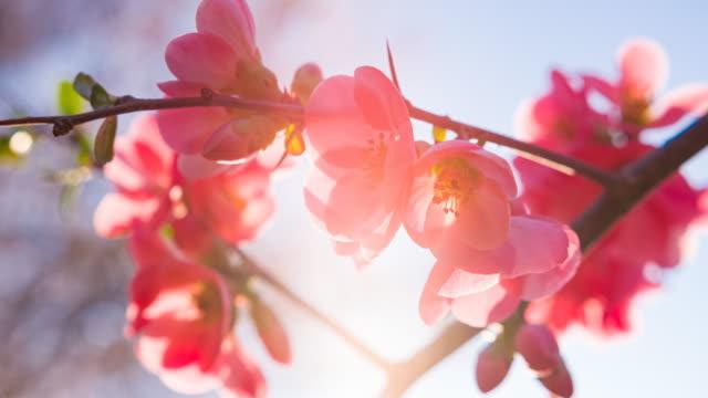 vídeos y material grabado en eventos de stock de rama de cerezo en plena floración - brightly lit