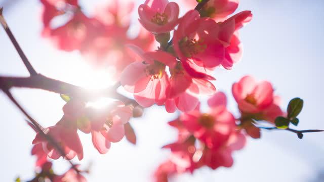 vídeos y material grabado en eventos de stock de rama de cerezo en plena flor - brightly lit