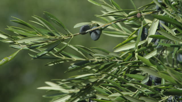 LS R/F branch of olives gently swaying in wind, camera racks focus on olive groves on hillside in background RED R3D 4K
