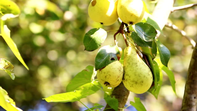 branch of pears - pear stock videos & royalty-free footage