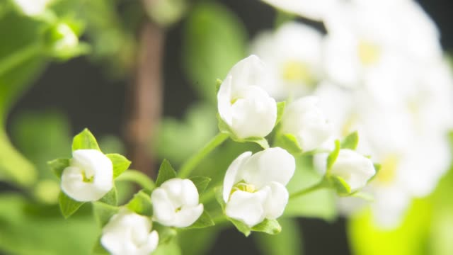 branch of plant blooming in spring. vibunum lentago (sheepberry) - frühling stock-videos und b-roll-filmmaterial