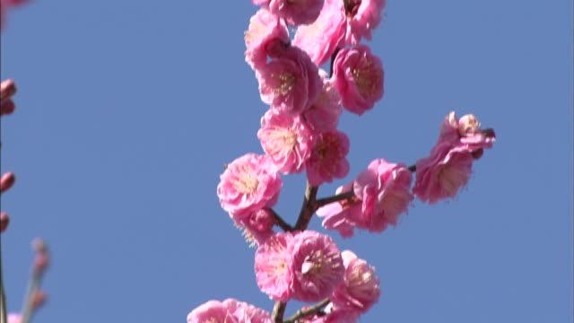 branch of red prunus flower  pan up - twig stock videos & royalty-free footage