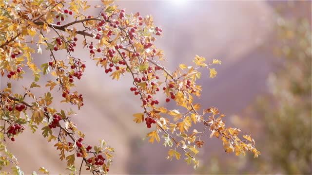 zweig der reif weißdorn am sonnigen herbsttag - ast pflanzenbestandteil stock-videos und b-roll-filmmaterial
