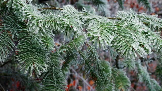 branch - nadel pflanzenbestandteile stock-videos und b-roll-filmmaterial
