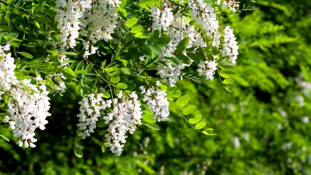 vídeos y material grabado en eventos de stock de rama con flores de acacia. - haz de luz