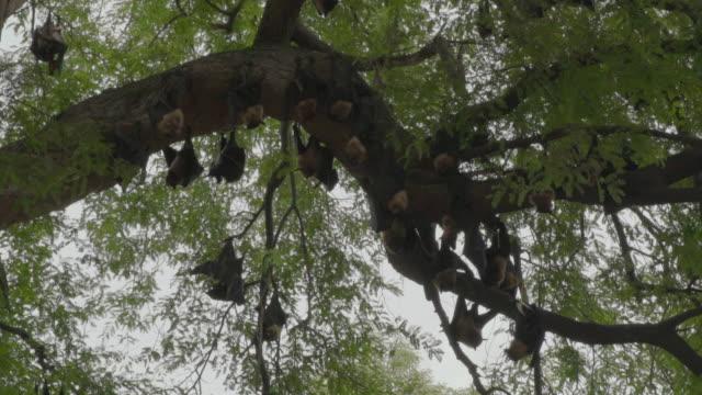 F/S branch with fruit bats, Bagan, Myanmar