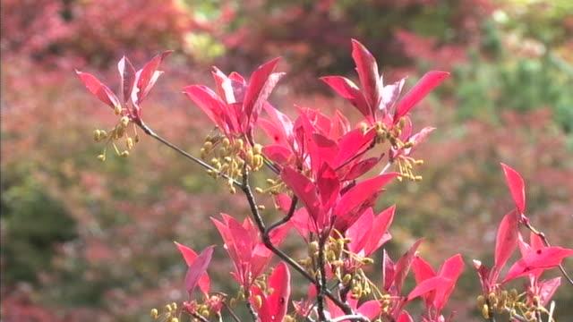 vídeos de stock, filmes e b-roll de a branch with pink leaves sways on an autumn day at mt. nasu in tochigi, japan. - ramo parte de uma planta