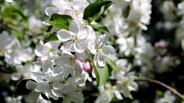 vídeos y material grabado en eventos de stock de rama con flores blancas de apple. - pistilo