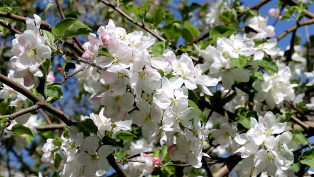 branch with white flowers of apple. - pistil stock videos & royalty-free footage